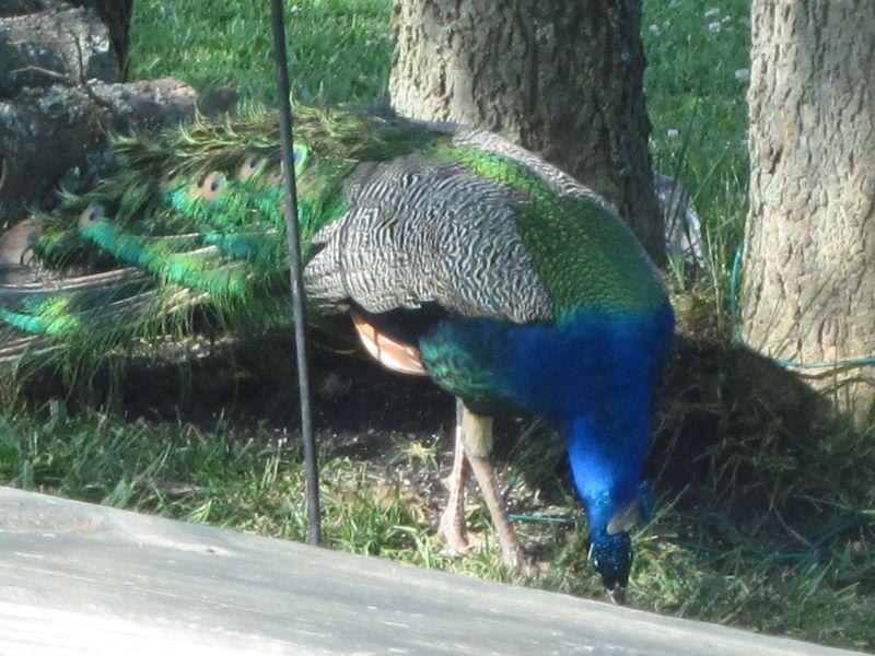 Peacock 6